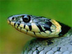 Alle 7 Jahre häutet sich die Schlange